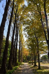 並木の紅葉②
