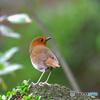 赤い鳥(コマドリ2)