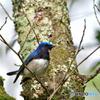 青い鳥(オオルリ3)