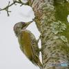 アオゲラ幼鳥-2