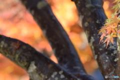 心字池の紅葉