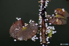お堀に散った 桜の花びら