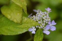 雨の日の紫陽花  ①