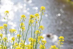 菜の花とキラキラ