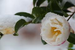 冬の山茶花