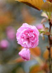 八重桜が咲きました