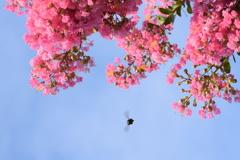 百日紅と青空とハチさん