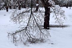 雪で枝折れした梅の木