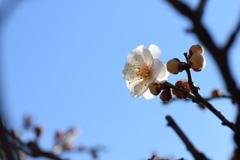 公園の梅の花