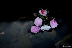 池に散った花びら
