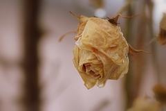 2月の薔薇