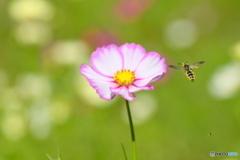 コスモスと蜂さん
