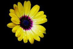 雨に濡れた黄色い花