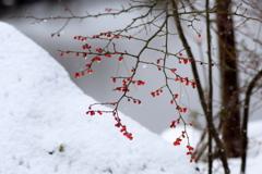 雪景色に貴重な赤