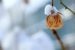 北国の薔薇