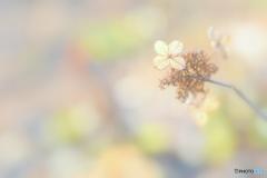 12月の紫陽花 ①