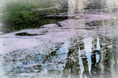 お堀の花筏ー3