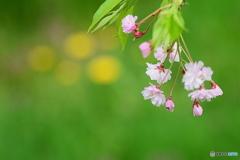 枝垂桜とタンポポ