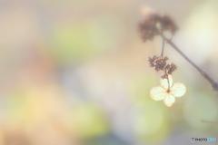 12月の紫陽花 ②
