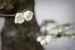 鉢植えの梅の花
