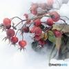 雪と バラの種