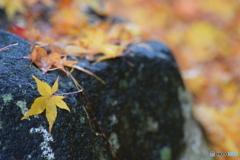 落ち葉がいっぱいの 雨の朝 ①