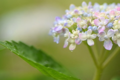 土門拳記念館の紫陽花 ②