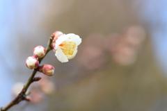 公園の梅が咲きました♪