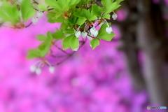 ドウダンツツジと芝桜