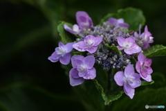 まだ綺麗に咲いていた紫陽花