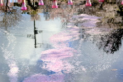 お堀の花筏ー2