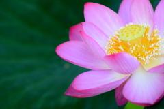 今日の 蓮の花