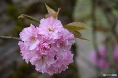 今日の八重桜 ①