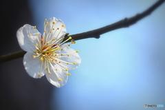 今朝の 公園の梅