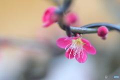 鉢植えの梅