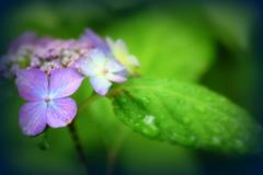 なんでアジサイは『紫』陽花って書くの?