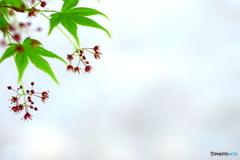 春のモミジ ③