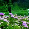 土門拳記念館の 雨の紫陽花