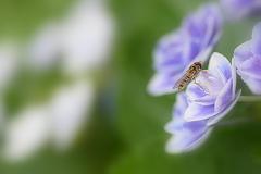 紫陽花と花アブさん