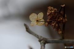 2月の紫陽花(枝が折れても…)