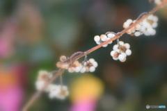 白式部と山茶花