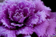 葉牡丹に霜