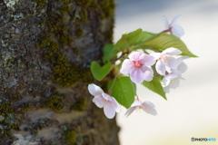 大好きな桜、ありがとう!