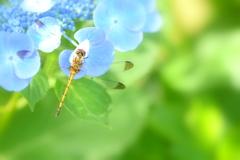紫陽花とトンボさん