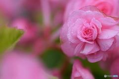 八重咲きのベゴニア ①