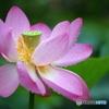 雨の日の ハスの花