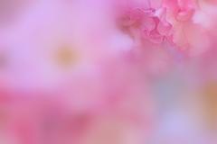 八重桜のフリル