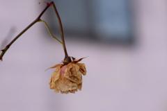 真冬の薔薇