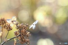 12月29日の 紫陽花