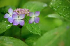 雨の日の紫陽花 ②
